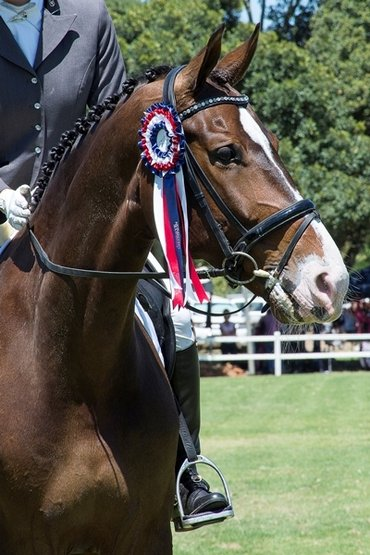 Candice Robinson (Zuid Afrika) op de dressuurkampioenschappen van Mike Bass Racing met Bach en haar JUDI frontriem Famous silver diamond